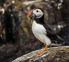 Puffin - Dinner Time by FranJ