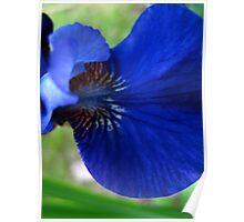 Indigo Iris Poster
