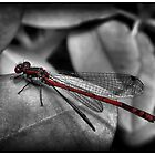 Red Damselfly by PBPhoto