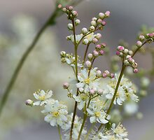 False Spirea by Dlouise