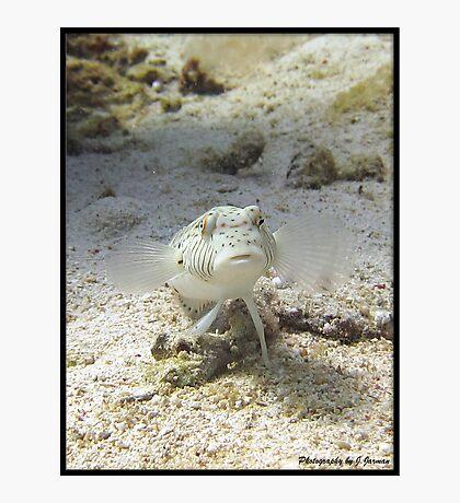 White Lizard fish, Red Sea , Eygpt Photographic Print