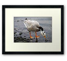 Bar Headed Goose - Esquimalt Lagoon Framed Print