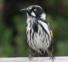 New holland honey eater profile by jozi1
