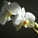 White Orchid by ronsphotos