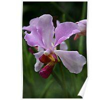 Mauve orchid Poster