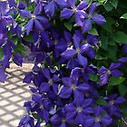 Clematis by CrystalFanning