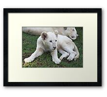 White Lion Cub Framed Print