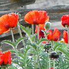 Oriental Poppies by BettyEDuncan