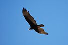 Turkey Vulture by Tori Snow