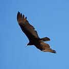 Turkey Vulture by Tori Snow