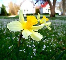 Daffodils with Street Scene by CrystalFanning
