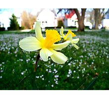 Daffodils with Street Scene Photographic Print