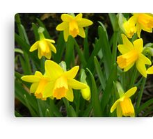 Group of Daffodils Canvas Print