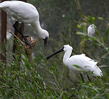 Spoonbills Spooning by GP1746