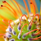 Fiery Pincushion Protea by Renee Hubbard Fine Art Photography