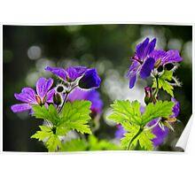 Wild Geraniums ~ Geranium Maculatum Poster