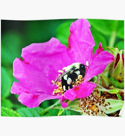 Bumble Bee in Flower Poster