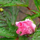 The Tearful Hibiscus by M-EK