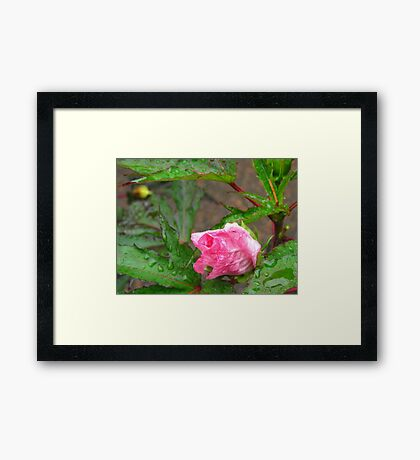The Tearful Hibiscus Framed Print