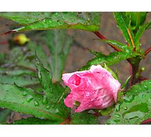The Tearful Hibiscus Photographic Print
