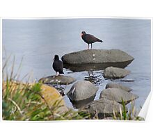 Sooty Oystercatchers Poster