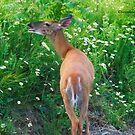 Flower Salad for Breakfast (White Tail Deer) by Yannik Hay