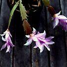 the zany zygocactus. by geof