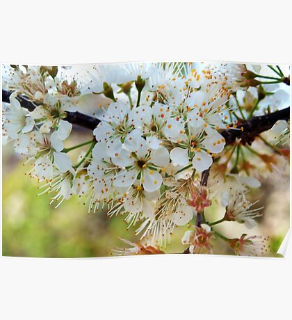 Tree blossoms Poster