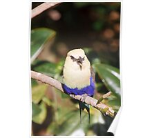 Blue-Bellied Roller Poster