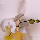 white Orchid by Enri-Art