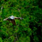 Blue Winged Teal by Don Marshall