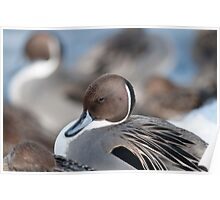 Pretty Pintails Poster