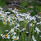 Daisies   by Betty E Duncan © Blue Mountain Blessings Photography