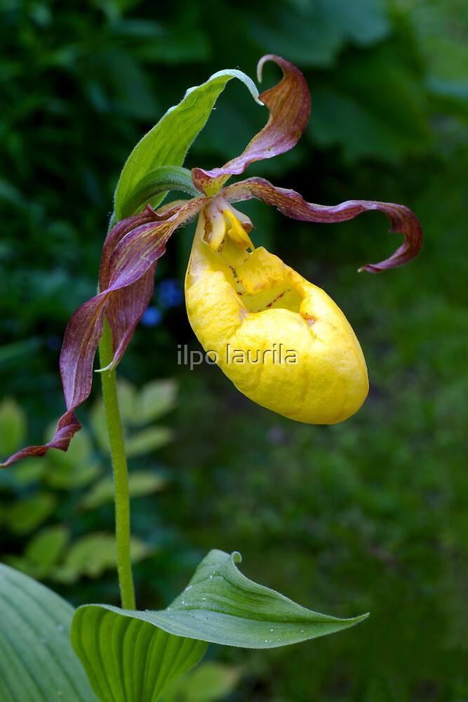 Lady's-slipper-orchid by ilpo laurila