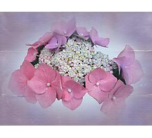 Pink Lace Cap Hydrangea Flowers Photographic Print
