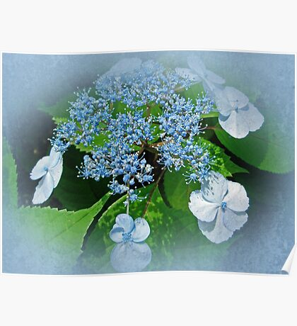 Baby Blue Lace Cap Hydrangea Poster