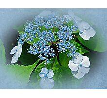 Baby Blue Lace Cap Hydrangea Photographic Print