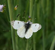 Cabbage White Butterfly by youmeus