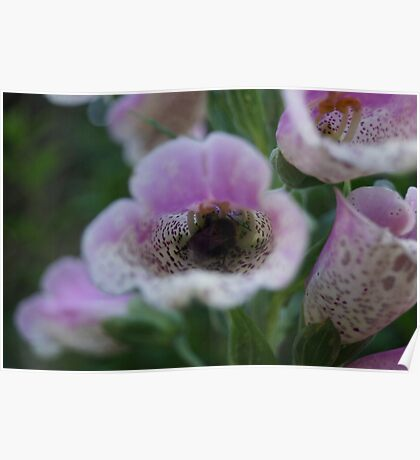 White tail Bumble Bee and (Digitalis) Foxglove Poster