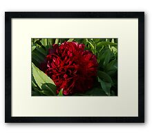 Red Peonyrose Scotland Framed Print
