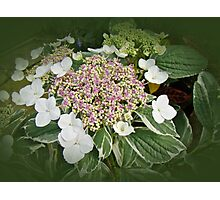 Variegated Lace Cap Hydrangea - Pink and White Photographic Print