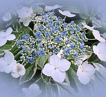 Variegated Lace Cap Hydrangea - Blue and White by MotherNature