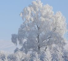 Frost-covered tree by davidwatterson