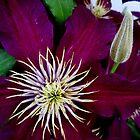 Clematis Bloom in CT by Debbie Robbins