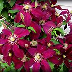 Clematis Vine in CT by Debbie Robbins