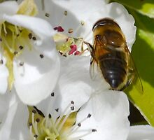 Bee  Mimic On Pear Blossom by lynn carter