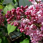 Lovely Lilacs by Michiale