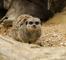 Smiling meerkat! by Richard Hepworth