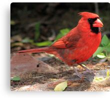 The Red Bird  Out Front #1 Canvas Print