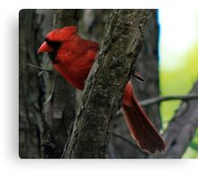 The Red Bird  Out Front # 6 Canvas Print